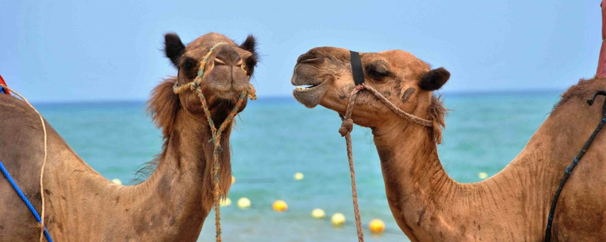 Here me out! Two camels engaging in speaking and listening - the art of conversation.